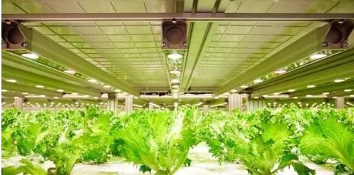 Japanese plant factories use Philips LED light supplement system to increase production and reduce costs